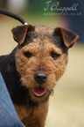 Working Lakeland/Fell Terrier