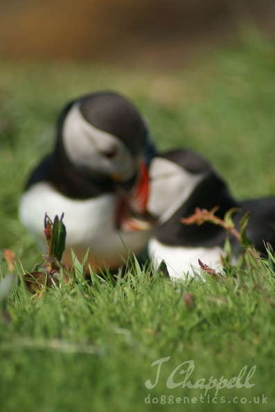 Puffin courtship | Dog Coat Colour Genetics - Gallery