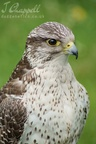 Hawk (captive, Great Yorkshire Show)