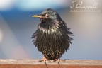 Starling (Seahouses, Northumberland)