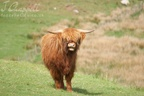 Highland Cattle (Isle of Mull)