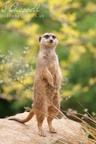 Meerkat (Edinburgh Zoo)