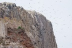 Gannet colony at Bass Rock, Scotland