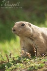 Prairie Dog (Chester Zoo)