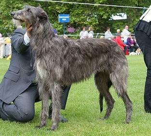 ... coats . On the first two dogs, greying has caused the black striping