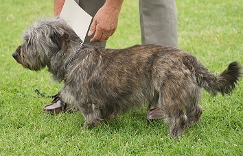 of coat include the Korthals Griffon and possibly the Irish Wolfhound