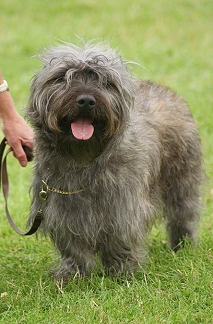 Grey terrier breeds