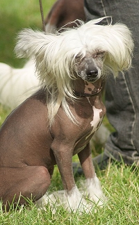 There Are Four Hairless Breeds Of Dog The Mexican Xoloitzcuintle Peruvian Inca Orchid American Terrier And Chinese Crested