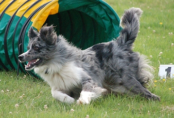 dog breeds that have brindle coloring to download dog breeds that have ...