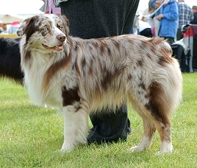 Red Merle Dog