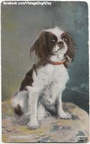 King Charles Spaniel (English Toy)